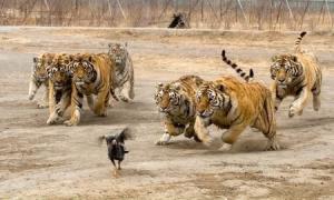 tijgers vallen een vogel aan in groep